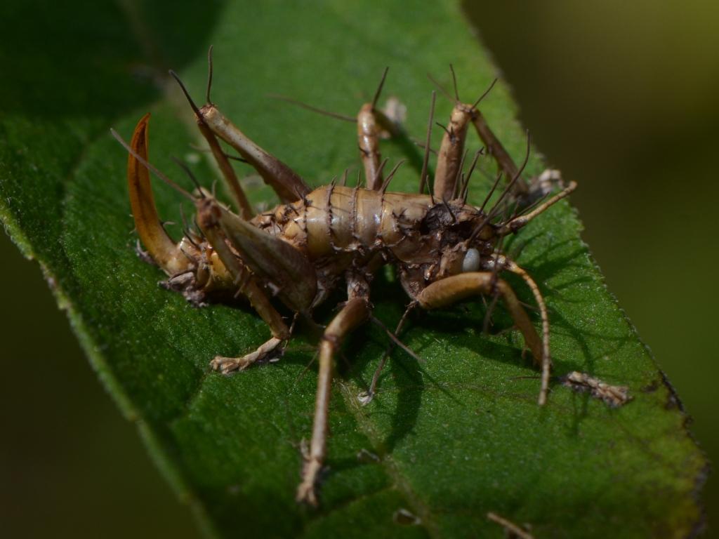 spider cricket hybrid