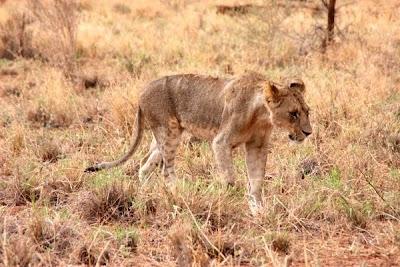 leona, felí, felino, animal africa