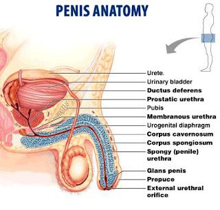 memperbesar penis tradisional blog dokter indonesia info kesehatan