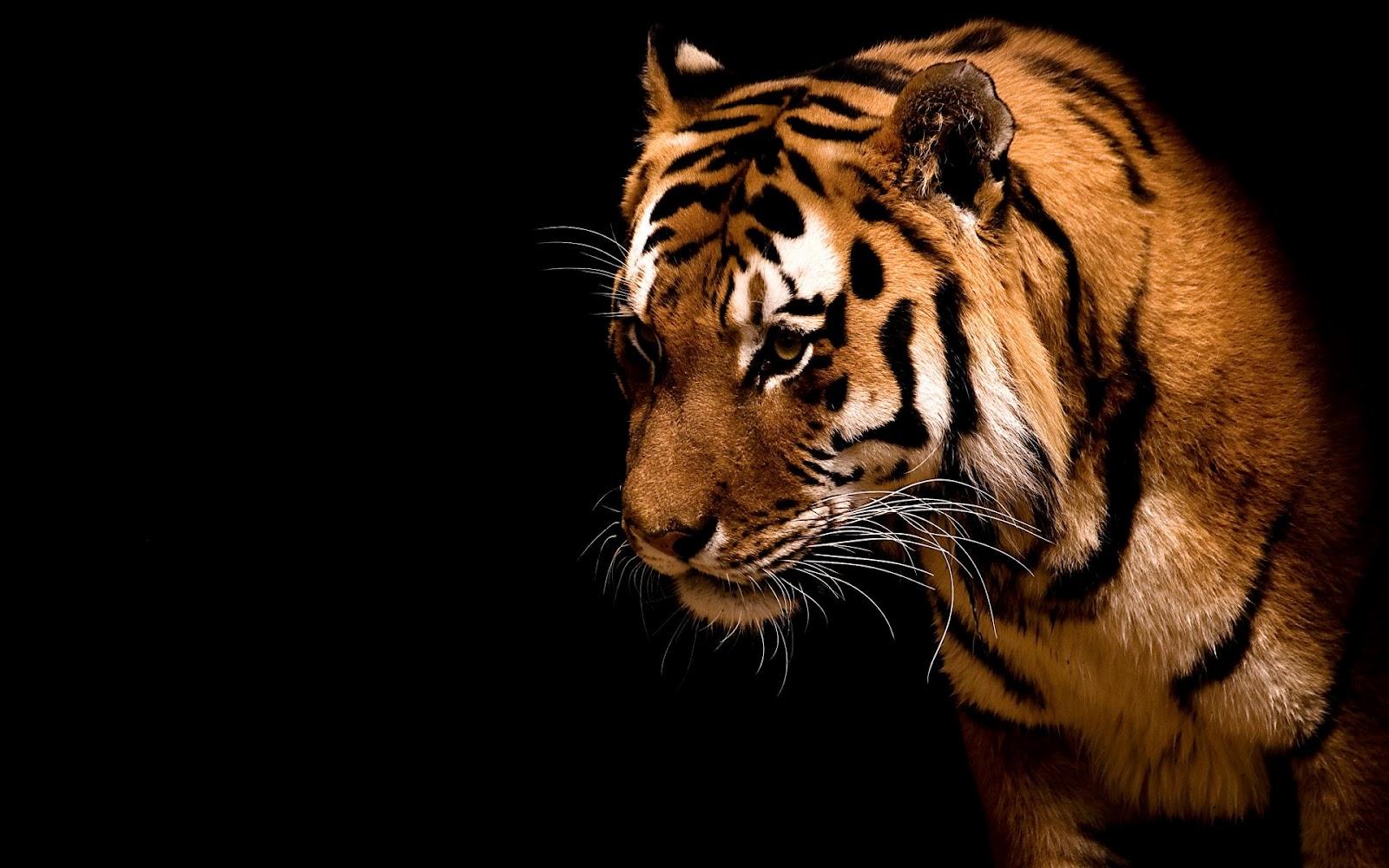online tiger