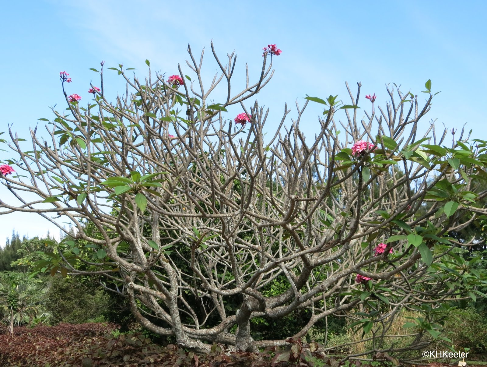 A wandering botanist plant story fragrant plumeria frangipani hawaiis poisonous plants states that although they arent very toxic people have become sick from eating plumeria salads eat plumeria flowers in izmirmasajfo