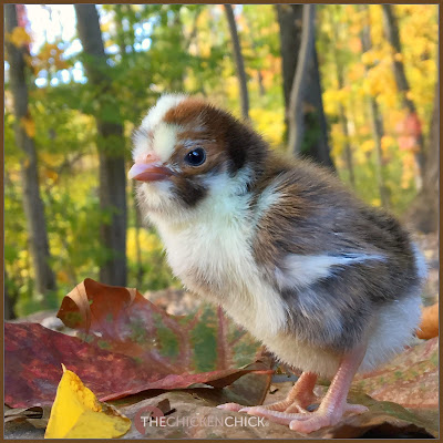 Mottled Polish crested chick