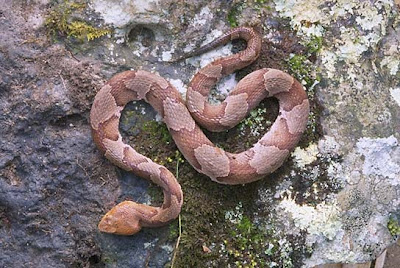 copperhead Agkistrodon contortix