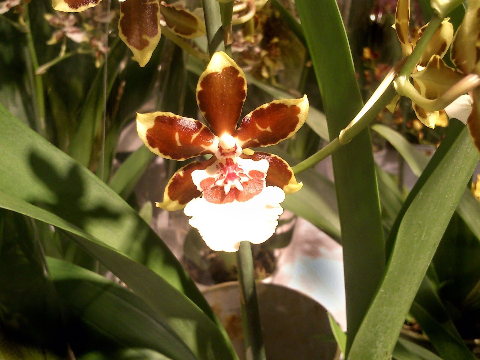 Cambria orkideblomst