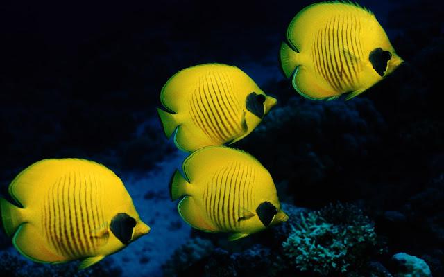 Imagenes de Peces Amarillo en el Fondo del Arrecife de Coral