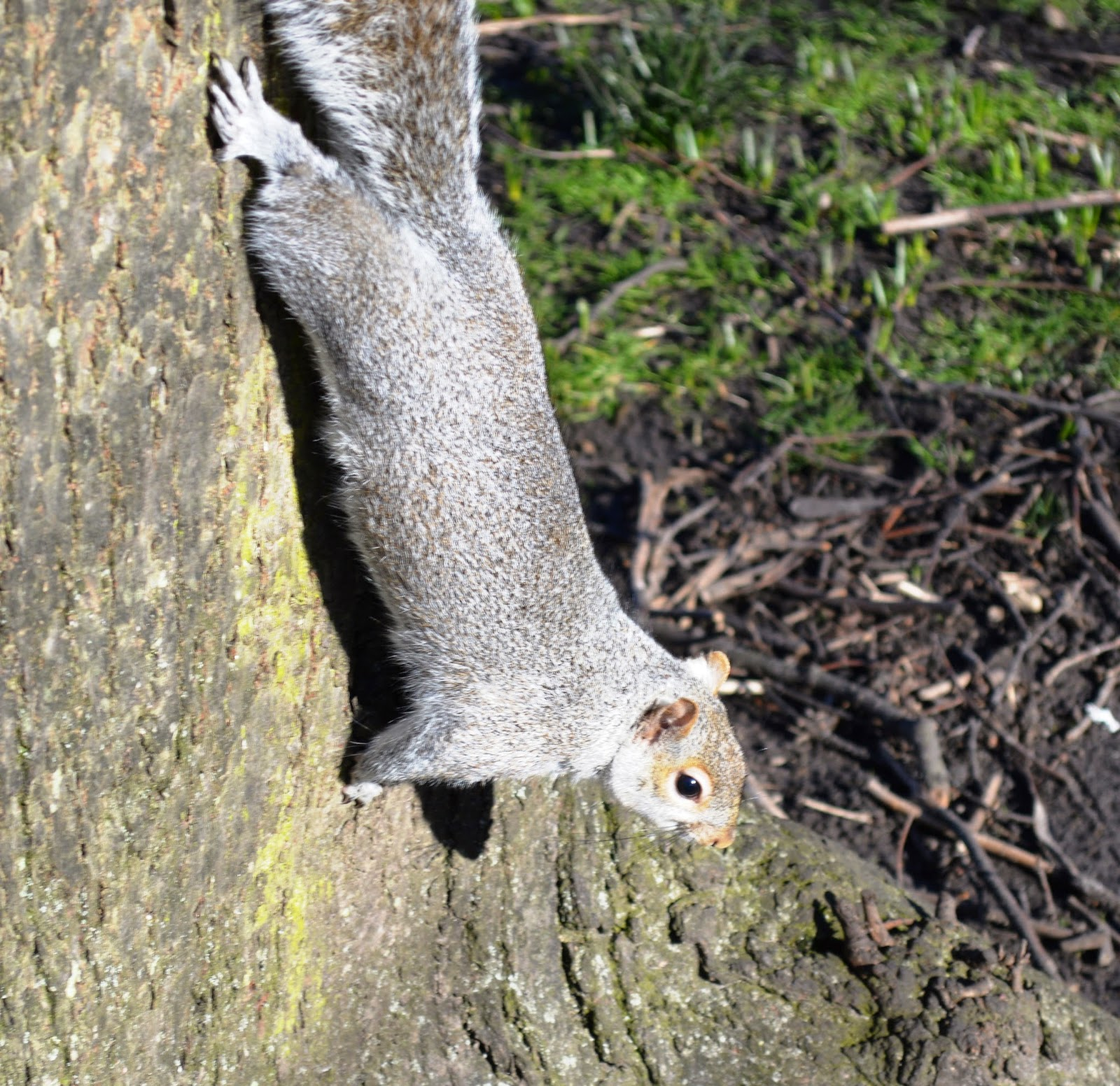 grey squirrel on tree, close up, woods, photograph