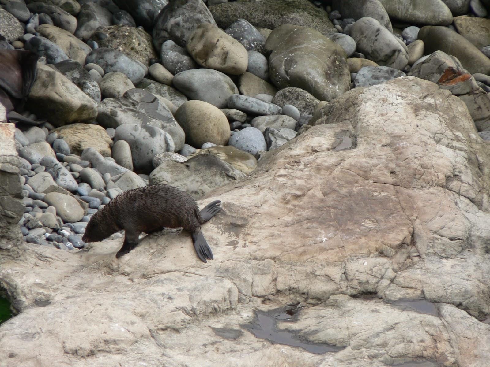 Baby seal, Kairkoura coast, ©Tina M Welter