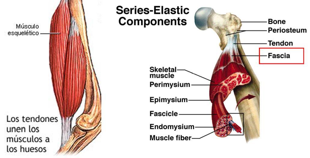 Entrenabike. Tu portal de entrenamiento ciclista.: 1a. El músculo ...