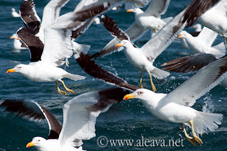 Kelp Gull in Peninsula Valdes Patagonia Argentina