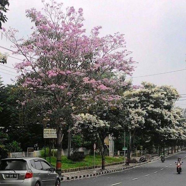 Pohon Berbunga ala Jepang di Magelang