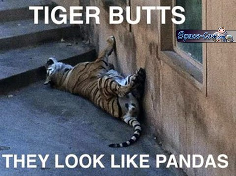 funny tiger humor picture