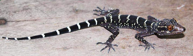 10,000th reptile species discovered in Laos, the bent toed gecko.