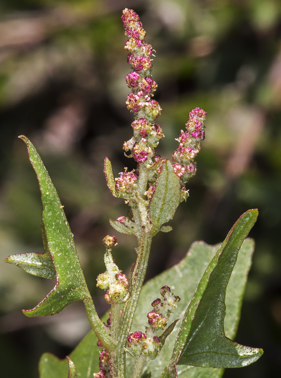 Spear-Leaved Orache, Atriplex prostrata.  Roadside near Downe, 23 August 2014.