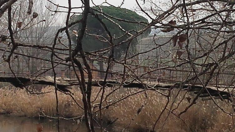 Con el pino centenario al fondo