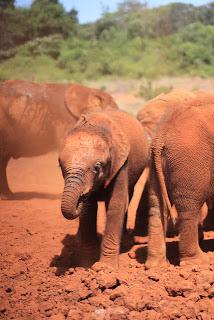 Elephant photograph taken by Chris Paul Daniels in Nairobi