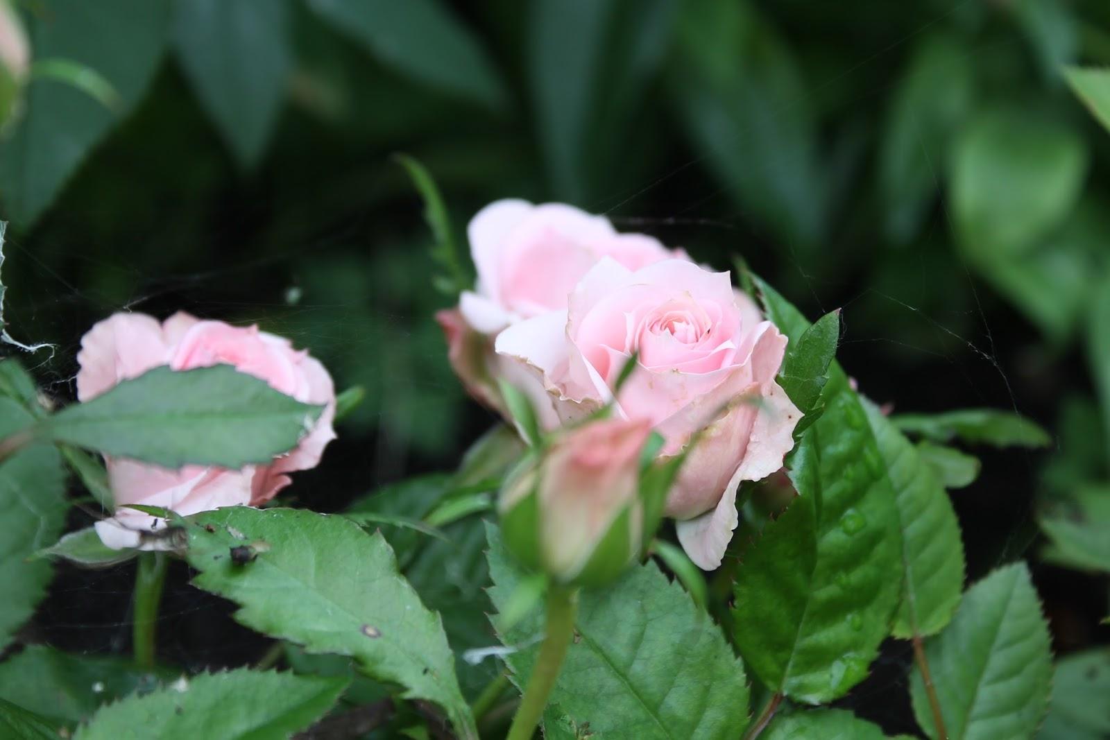 Ruusut ♥