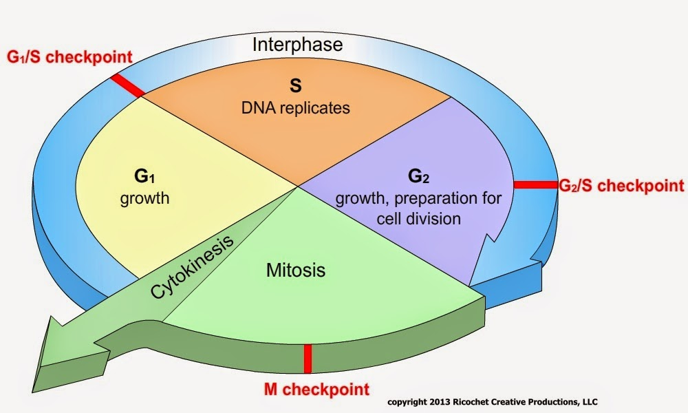 Cell Cycle Stages Of Cell Cycle Phases In Order G1 S Manual Guide