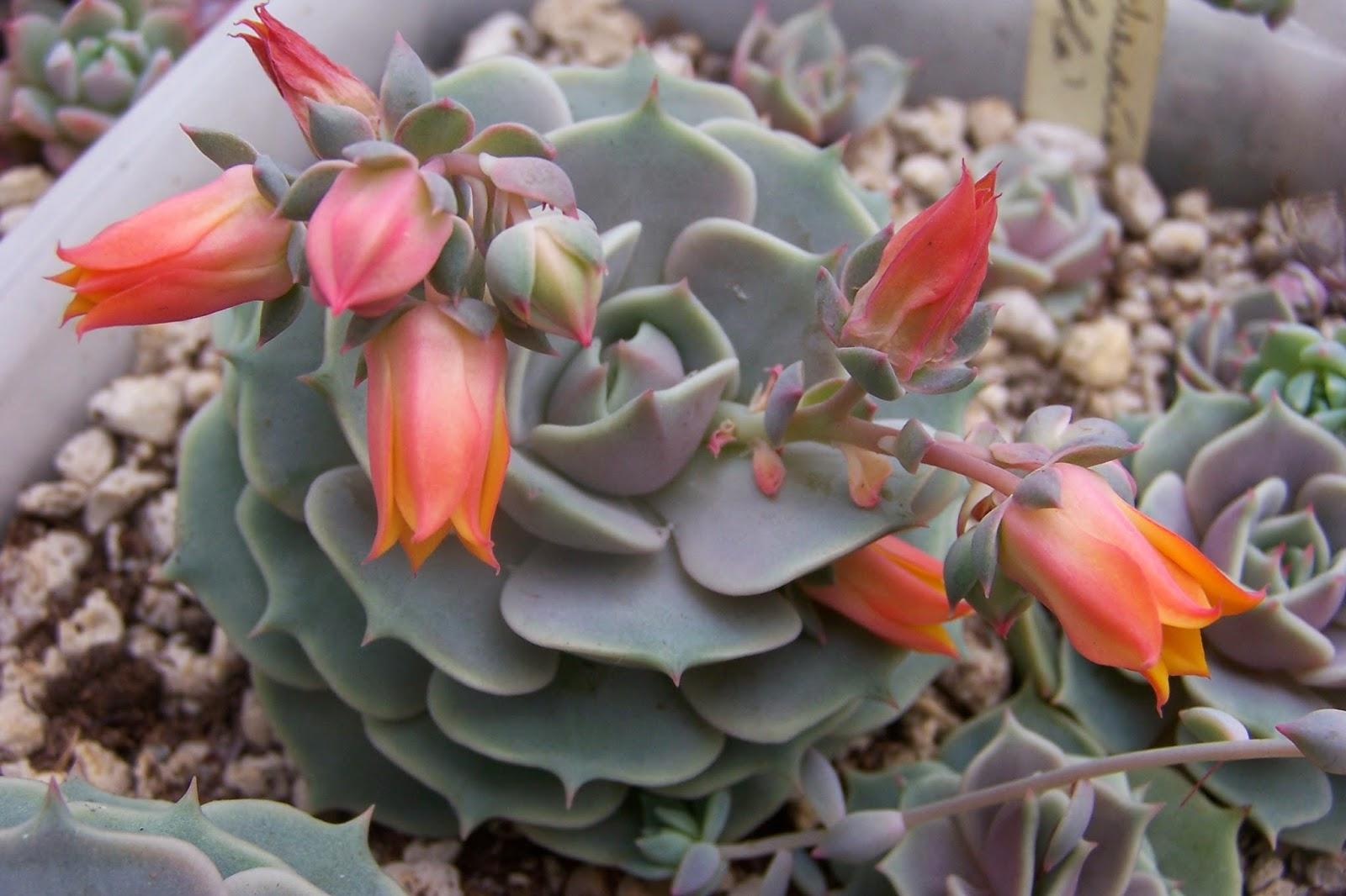 Цветок каменная роза (63 фото приметы и суеверия, в ландшафтном) 56