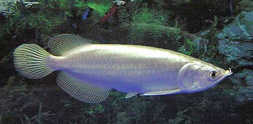 Ikan Arwana Emas