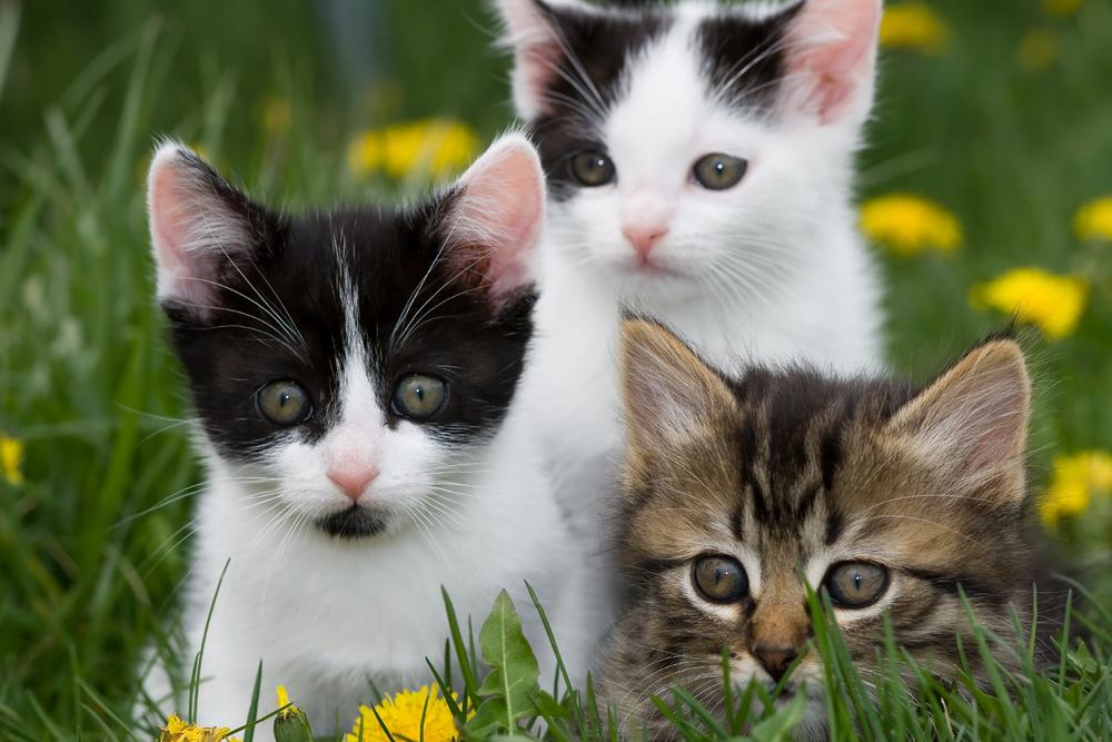 Bishop Ranch Veterinary Center: The Feline Leukemia Virus (FeLV ...