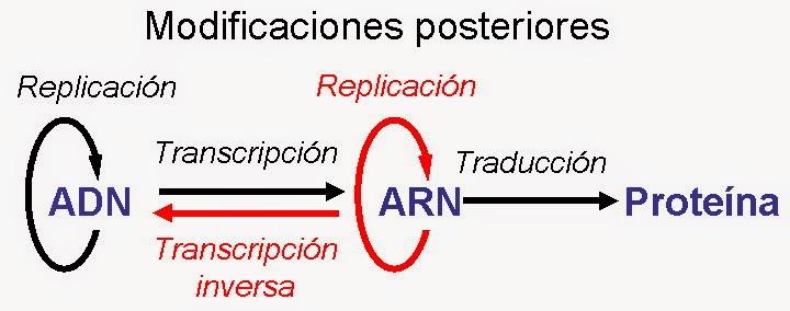 Biologia Celular Dogma Central De La Biologia Celular