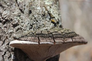 photo of fungus attached to oak tree