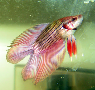 12 Type Of Betta Fish By Tail Types - Double Tail