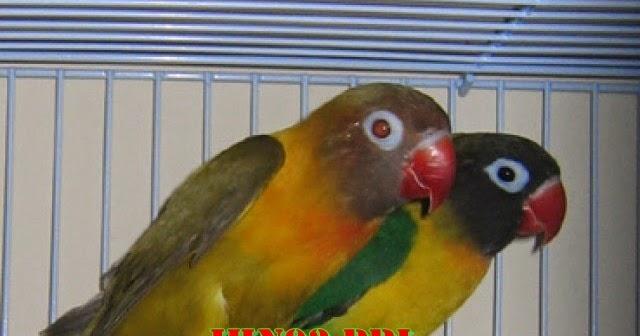 beda lovebird import vs lokal jhn lovebird farm