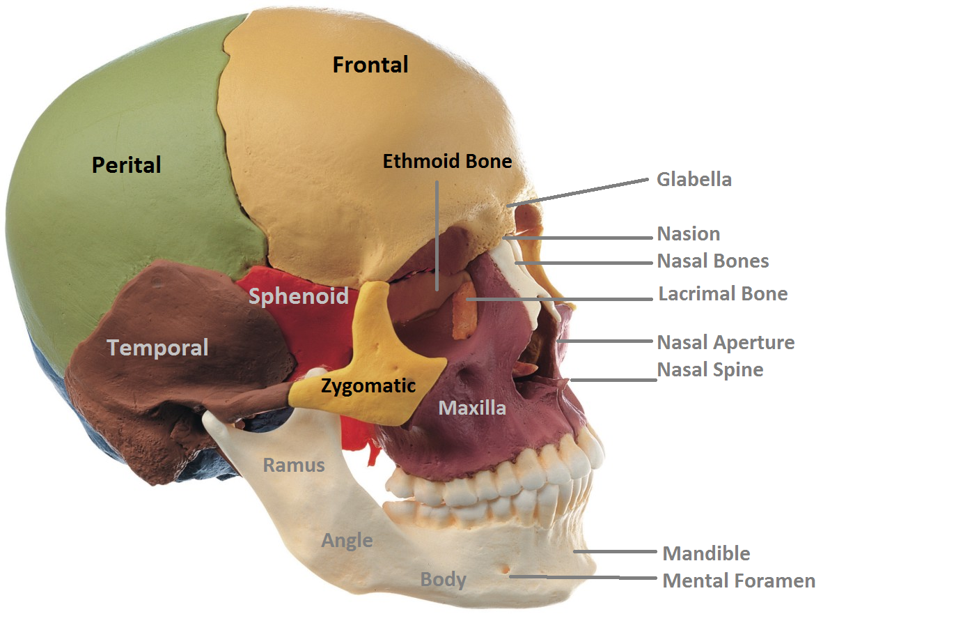 anatomy made easy : anterior view of skull, Sphenoid