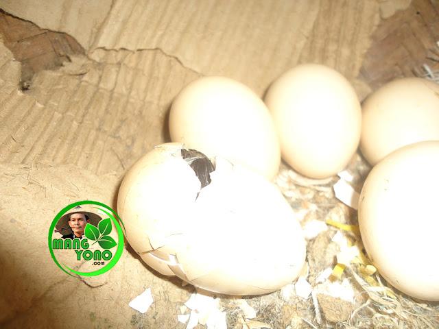 FOTO : Telur ayam mulai menetas setelah 21 hari dierami induknya