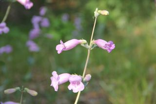 photo of beardtongue flowers