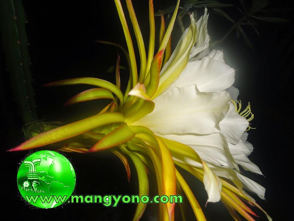 Foto 3 : Bunga buah Naga terlihat sudah mekar