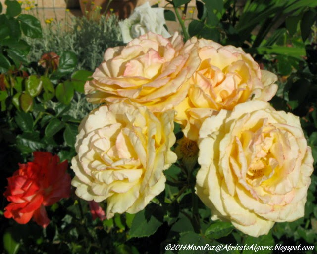 yelow roses 2