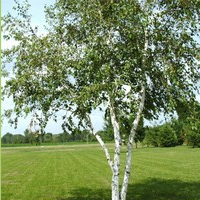 Beith the Birch tree