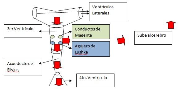 Líquido Cefalorraquídeo y Sistema Nervioso Vegetativo