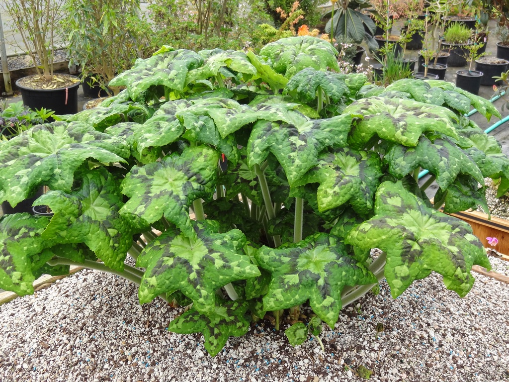 Tractor Seat Fuzzy Variegated Plants : Flora wonder march