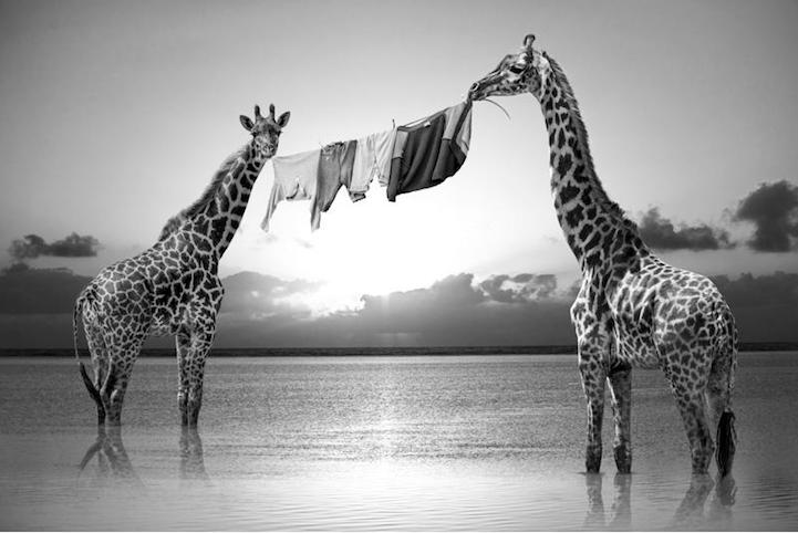 dos jirafas sujetan la cuerda de la ropa tendida