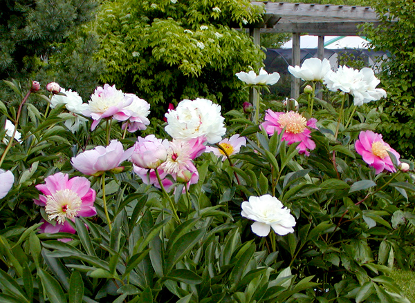 The mixed border nursery gardens blog selecting planting and caring for peonies - Growing peonies in the garden ...