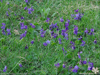 Viola odorata - Fiołek wonny, fiołek pachnący