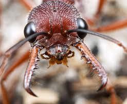 10 serangga paling berbahaya di dunia Ants