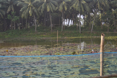 Beautiful lotus flowers on the way to chilika lake