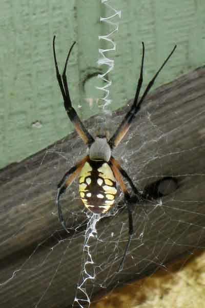 Springfield Plateau Yellow Garden Spider
