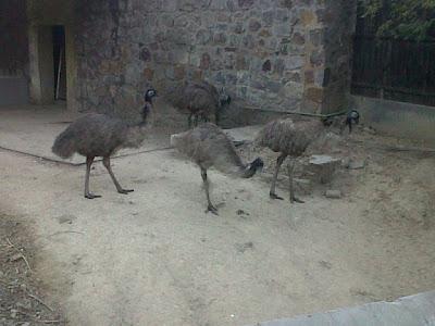 Emu in Delhi Zoo