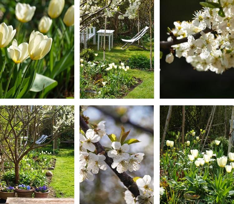 Den hvide have med tulipaner og blomstrende frugttræer