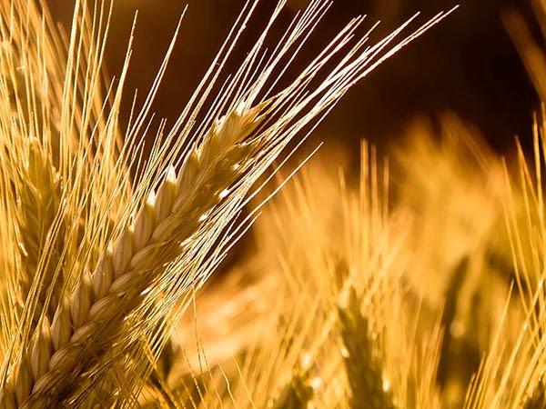 Indústria de trigo será instalada em Campina Grande