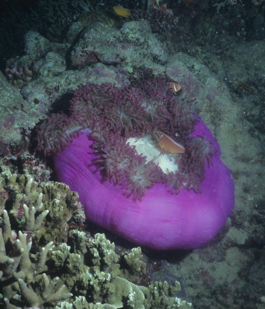 Magnificent Sea Anemone 7