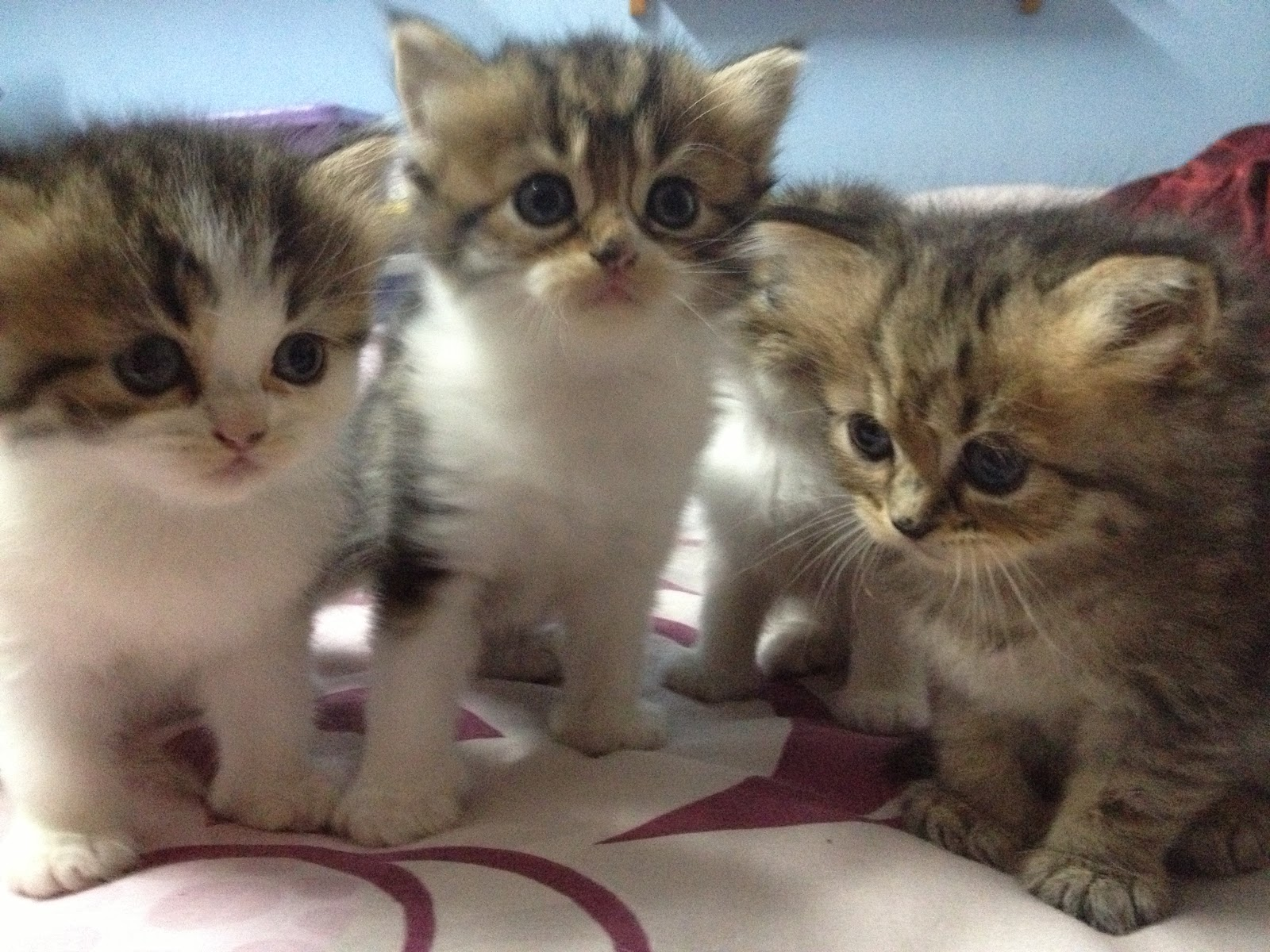 Kucing Parsi Comel Related Keywords Kucing Parsi Comel
