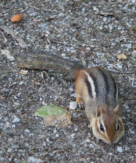 I believe the chipmunk has all the nuts :) :: All Pretty Things