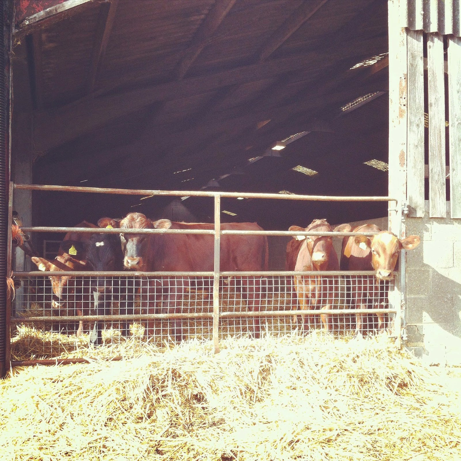 cows, farm, Goodwood Farm, West Sussex