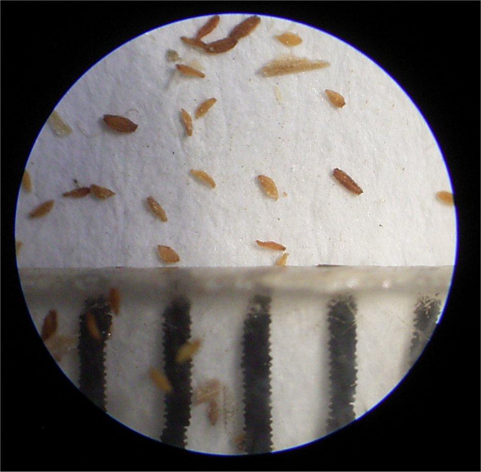 Cotyledon undulata seed